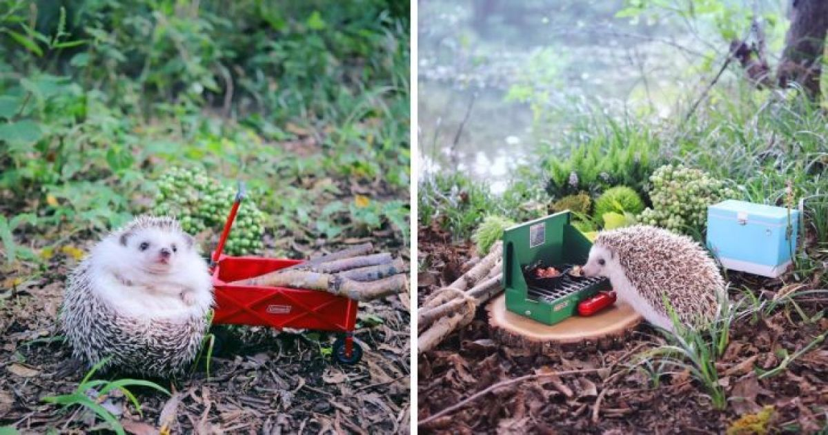 This Adorable Little Hedgehog Goes Camping And You Will Freak Out At The Cuteness Overload