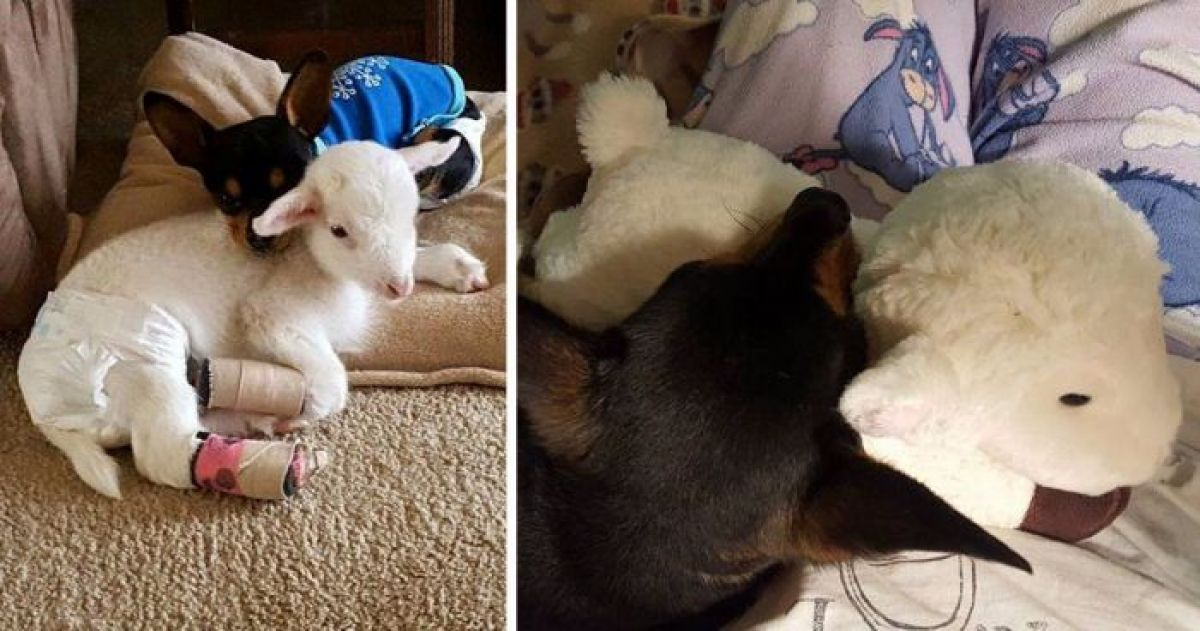 When This Special Needs Dog Lost His Best Friend His Family Gave Him A Plush Toy That Looks Just Like Her