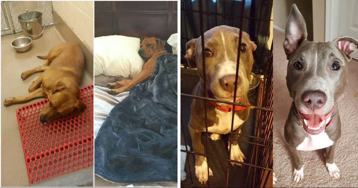 Before And After Pictures Of Doggos Following Their Adoptions