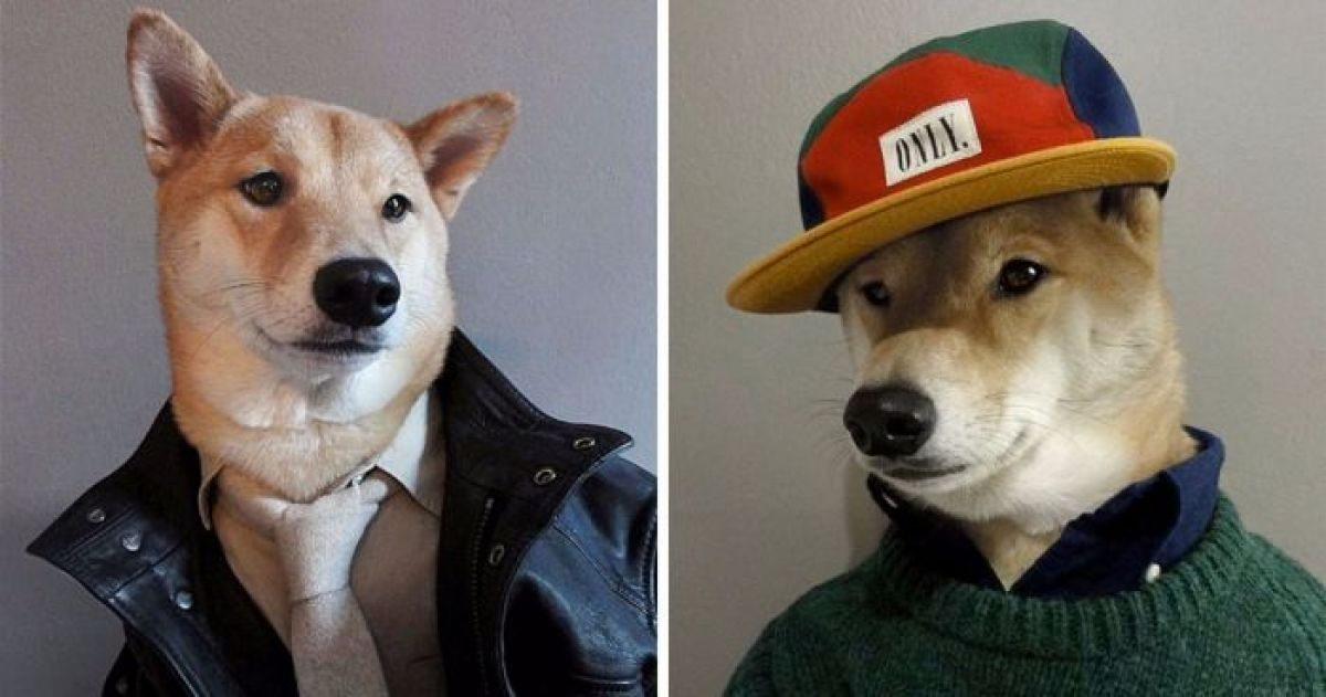 This Shiba Inu Is Rocking Designer Gear In The Most Adorable Way Possible