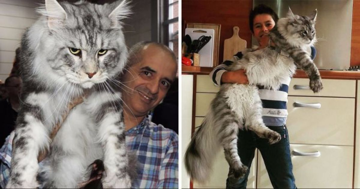 14 Maine Coon Cats That Are So Enormous They Make All The Other Cats Look Like Kittens