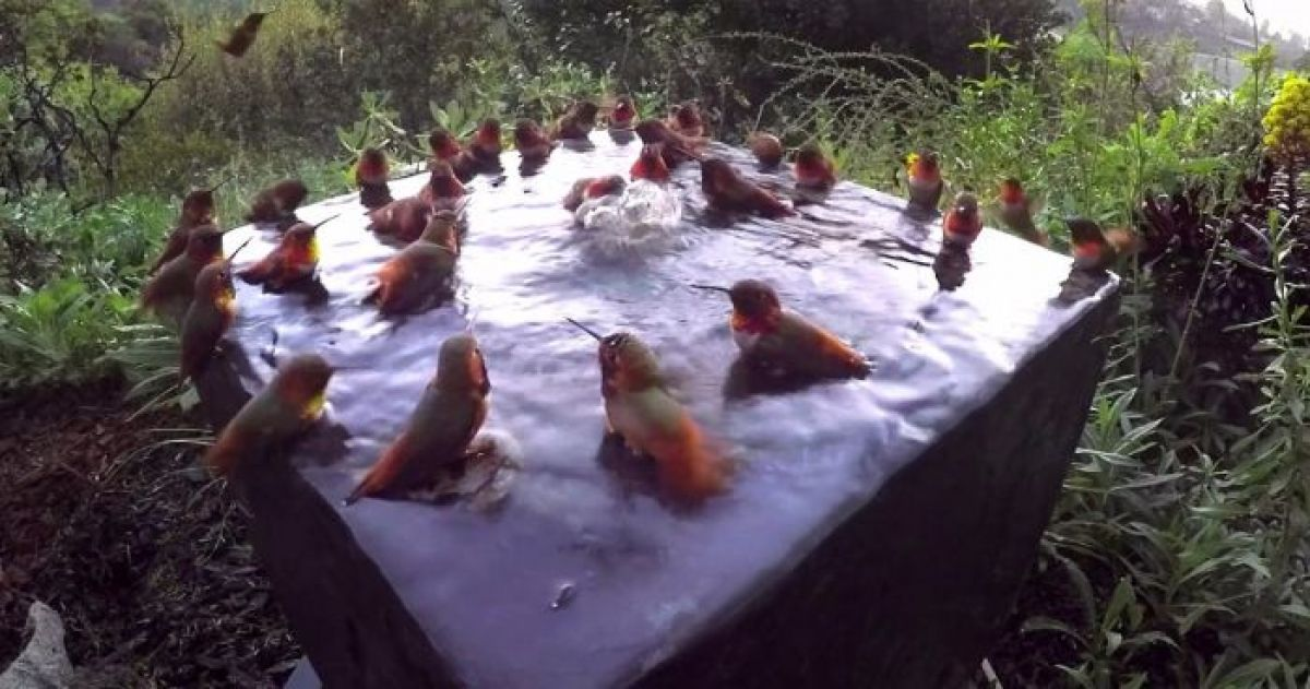 This Video Of 30 Hummingbirds Having A Little Pool Party Is The Most Adorable Thing You Will See Today