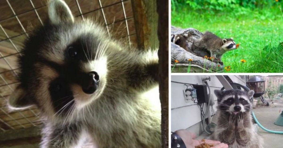 15 Pictures That Prove Raccoons Are Actually The Cutest Animals Ever