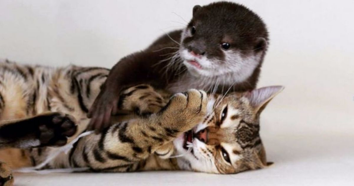 This Bengal Cat and Otter Become Unlikely Friends