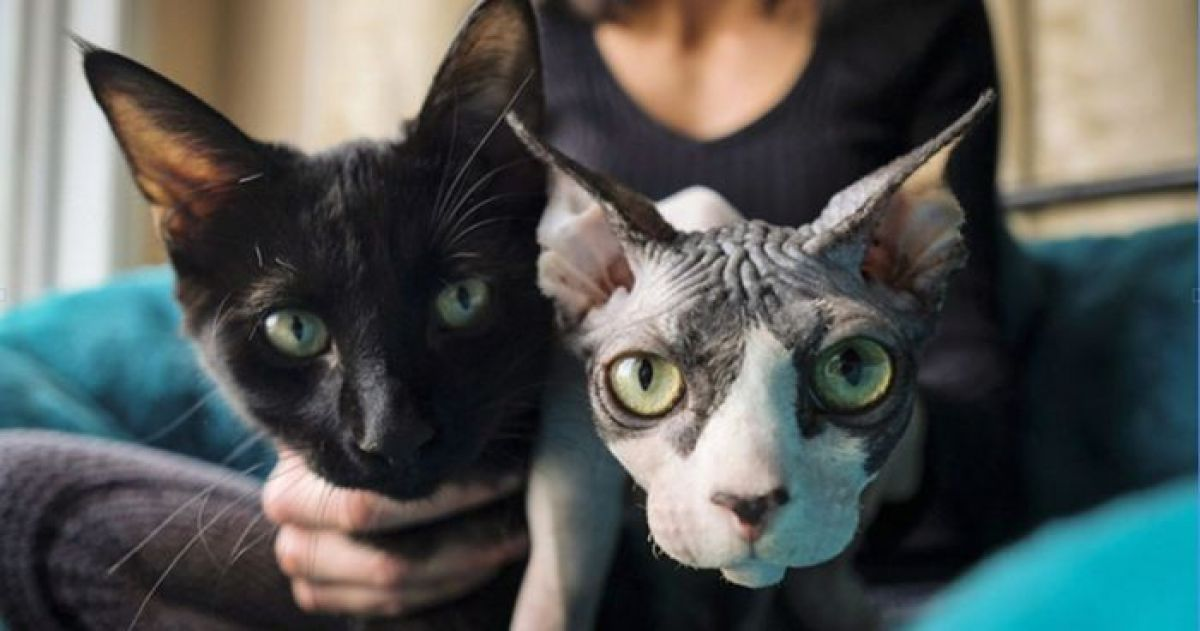 The Shocking News of a Scammer Shaving Kittens and Selling Them as Sphynx Kittens!