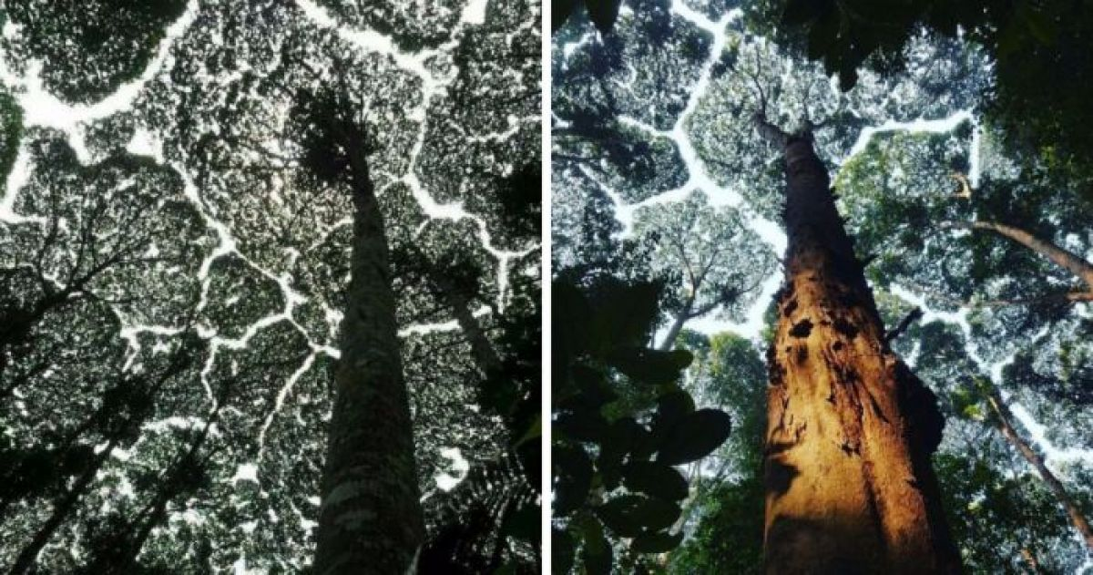 10+ Awesome PIctures of 'Crown Shyness', A Natural Phenomenon Within Trees