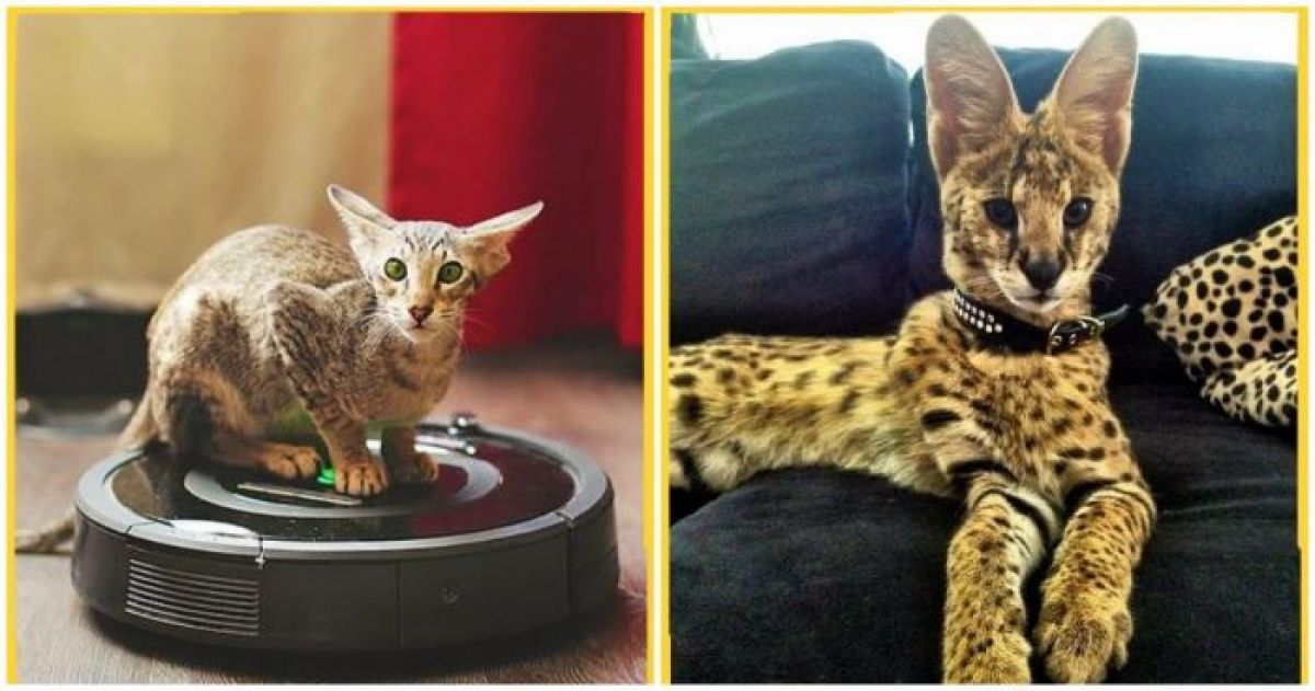 10+ Of The World's Most Expensive Luxury Cats