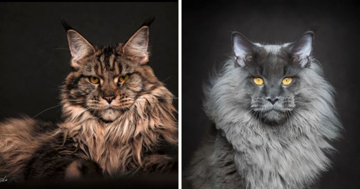 10+ Beautiful Photos Of Maine Coon Cats That You Have To See If You Love Cats At All