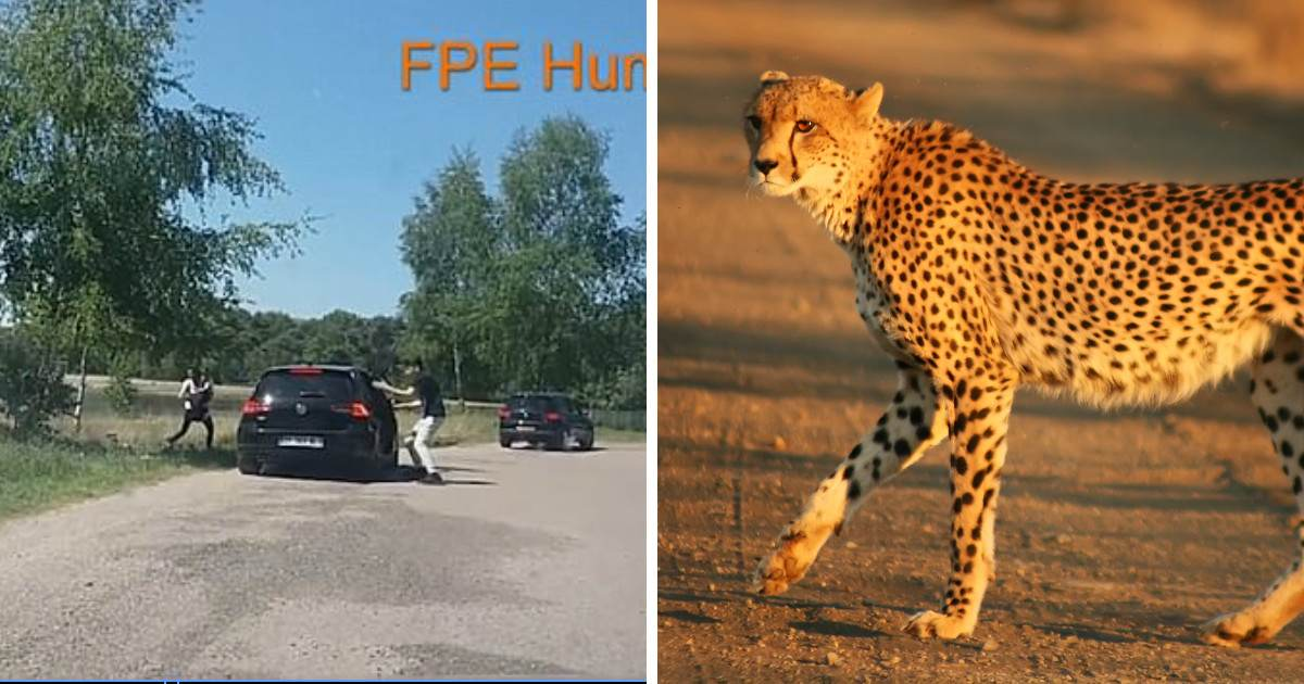 Family Run For Their Lives When They Are Chased By Cheetahs After Getting Out Of Their Car At Dutch Safari Park